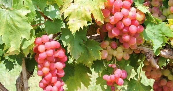 Способы посадки винограда осенью