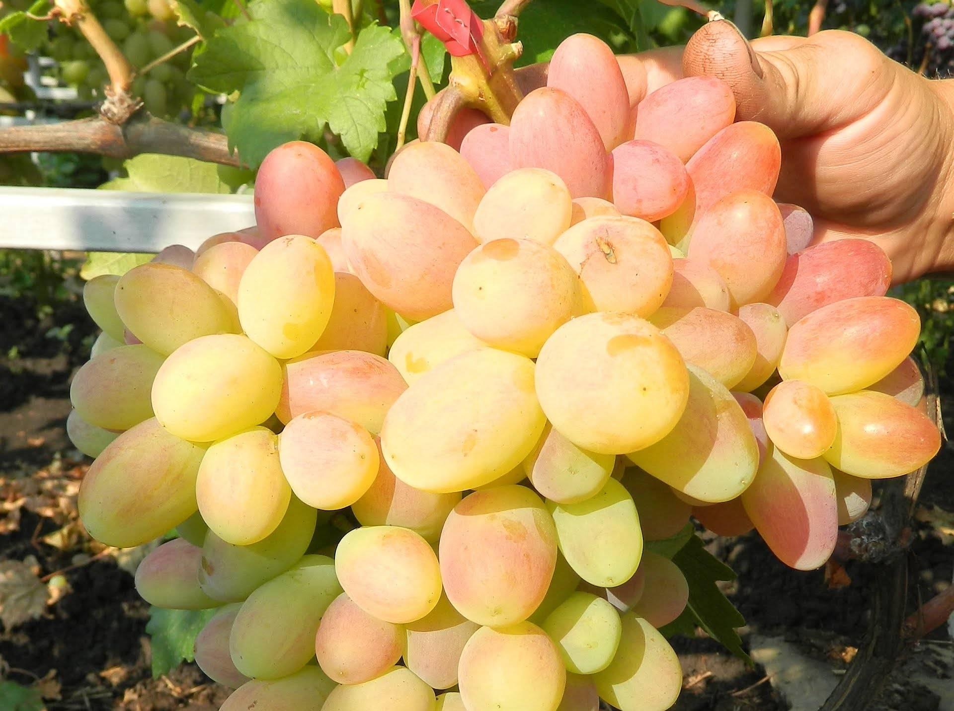 Как удобрять виноград осенью