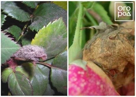 Опрыскивание роз медным купоросом осенью