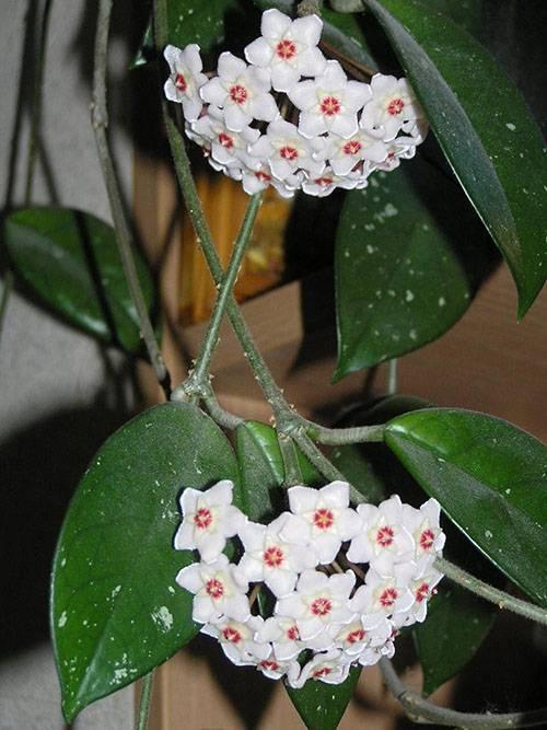 Горшковые цветы фото