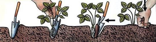 Как сохранить саженцы клубники до весны