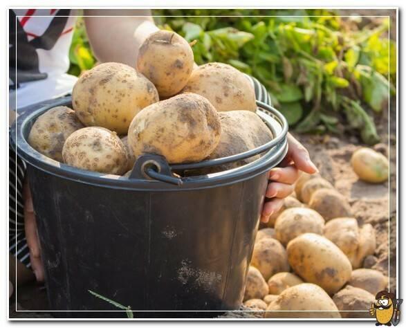 Картофель сорт мелодия