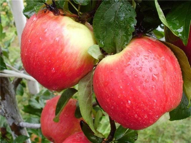 Старые сорта яблонь