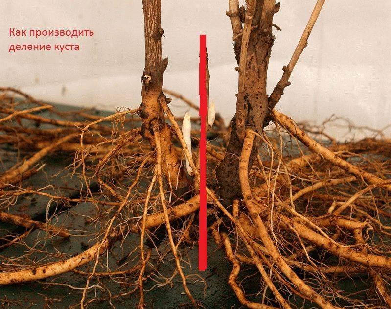Древовидный пион размножение черенками