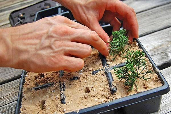 Как посадить кипарис