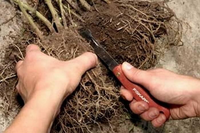 Размножение лапчатки кустарниковой черенками