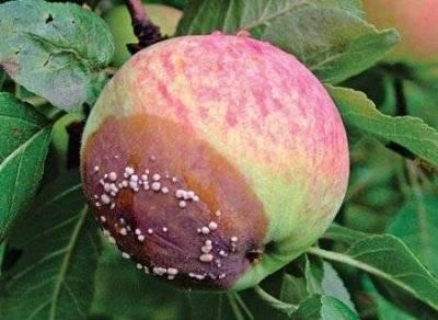 Болезни яблонь фотографии признаки