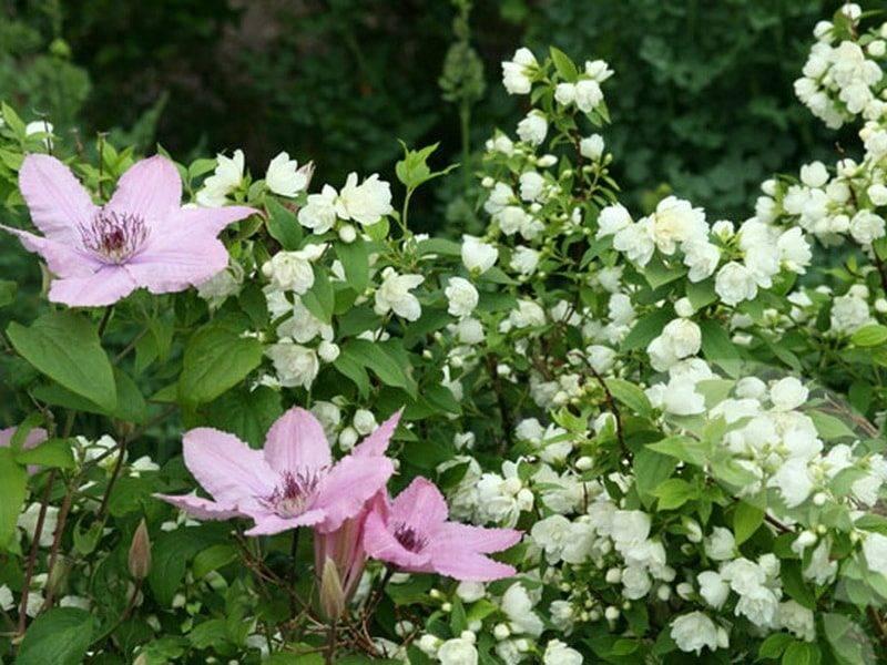 Чубушник фото цветок кустарник