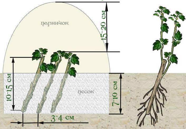 Размножение красной смородины черенками весной