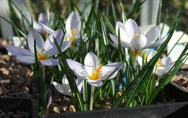 Нужно ли выкапывать крокусы после цветения