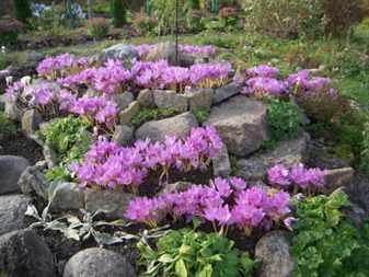 Каталог луковичных садовых цветов фото и названия