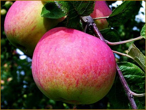 Яблоня большой оригинал