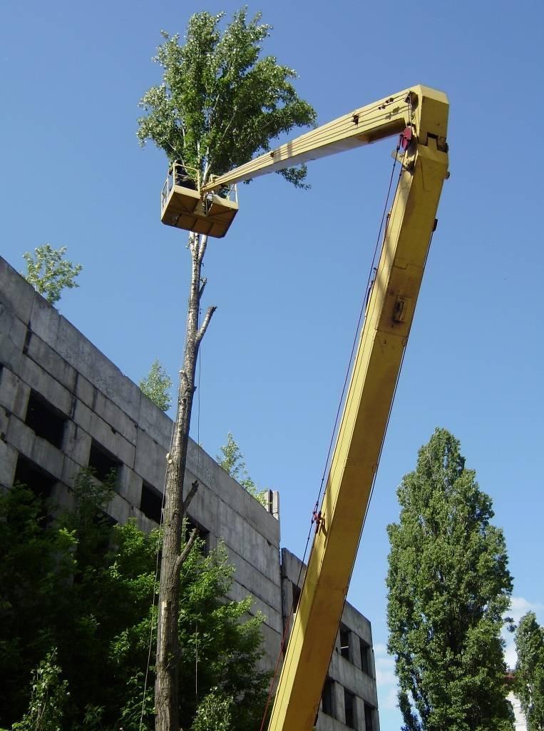 Какие деревья можно кронировать