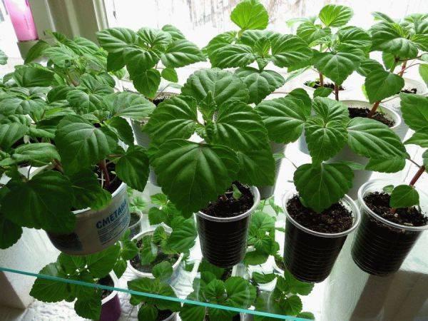Выращивание сальвии