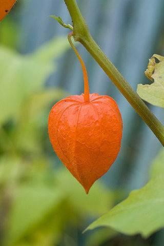 Цветы фонарики оранжевые