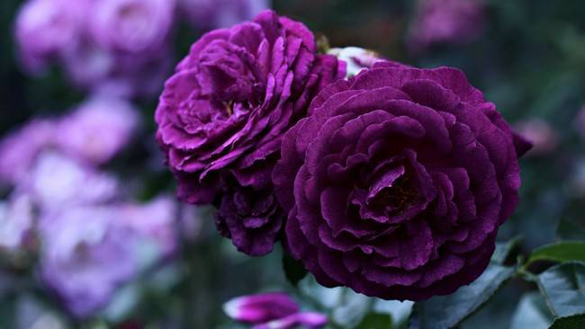 Болезни роз и как с ними бороться