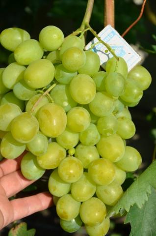 Виноград стартовый