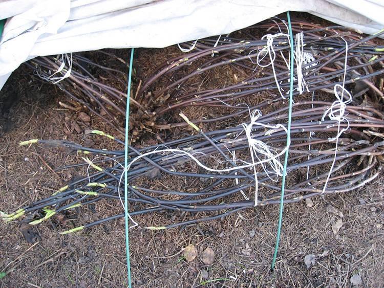 Гортензия садовая обрезка осенью