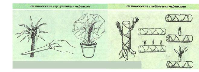 Размножение черенками примеры растений