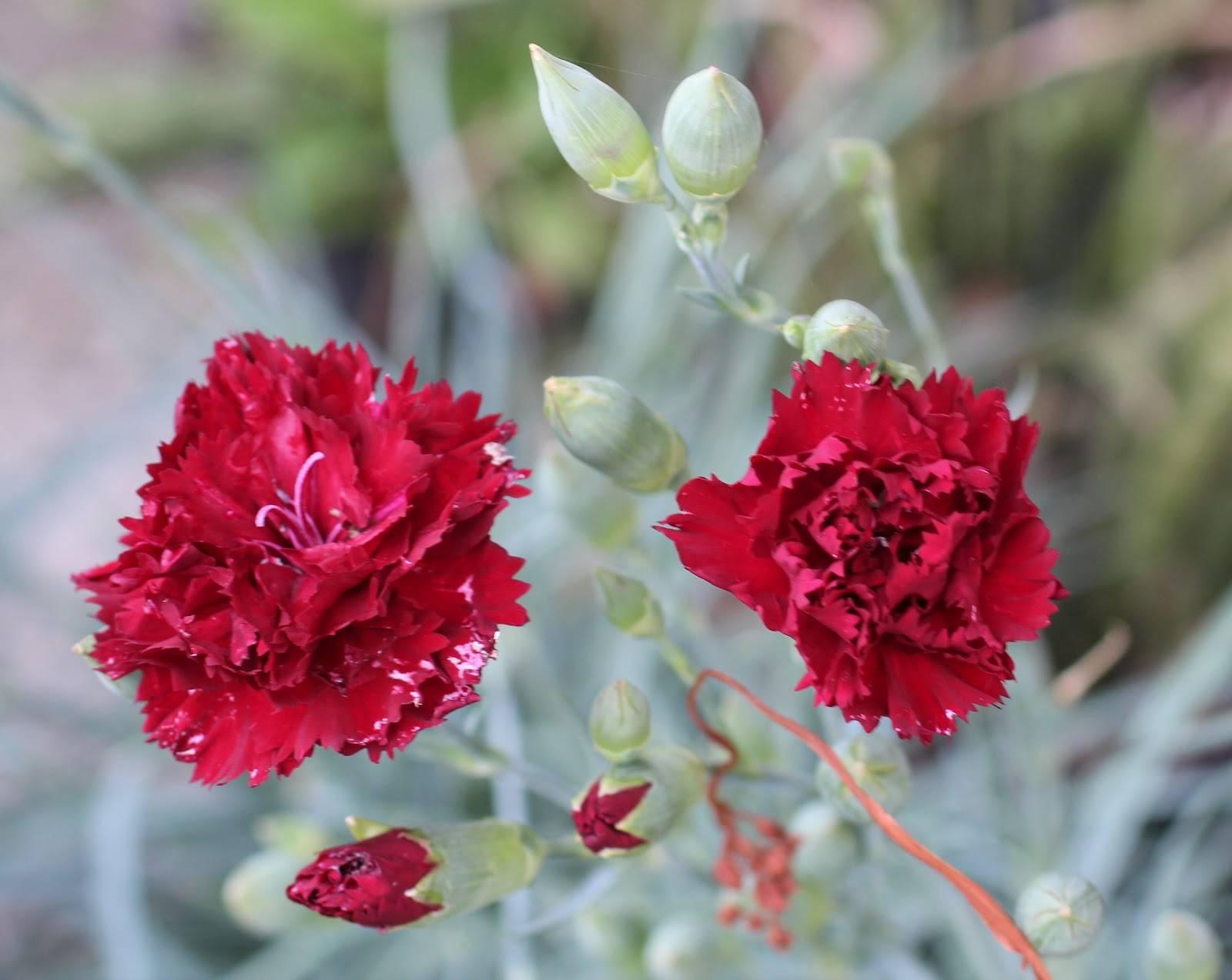 Цветы гвоздика многолетняя