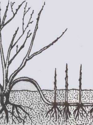 Пионовидное дерево посадка и уход