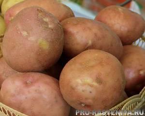 Элитные семена картофеля
