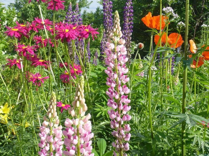 Долгоцветущие многолетние садовые цветы