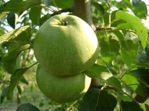 Скрижапель сорт яблок