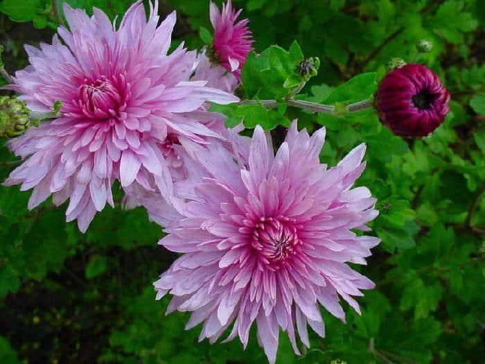 Когда цветут хризантемы в саду