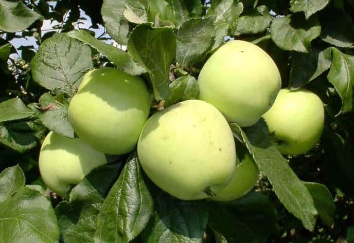 Цвет зеленого яблока