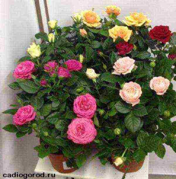 Розы патио сорта фото