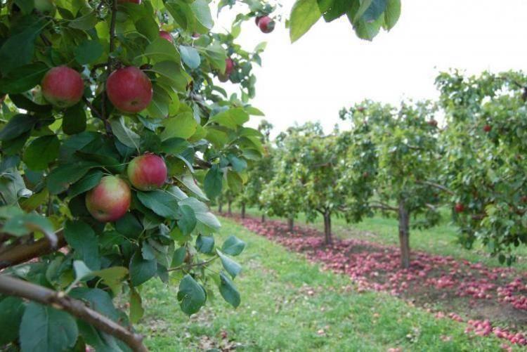 Как сохранить молодые яблони зимой