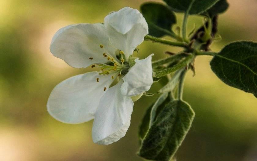 Какие листья у яблони