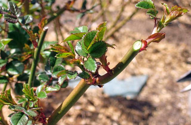 Обрезка плетистых роз на зиму
