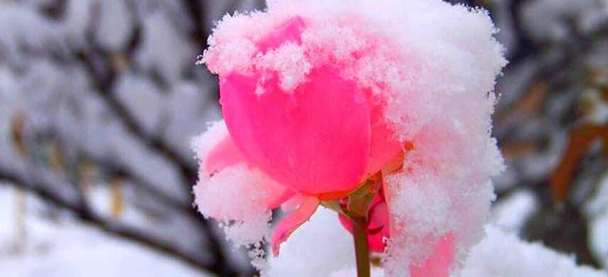 Розы для сибири лучшие сорта