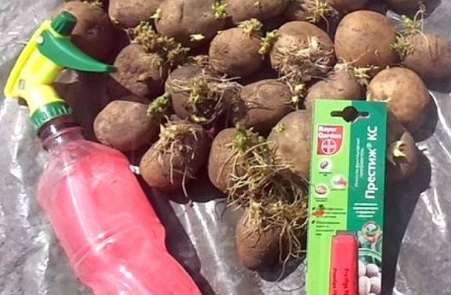 Парша картофеля фото описание и лечение
