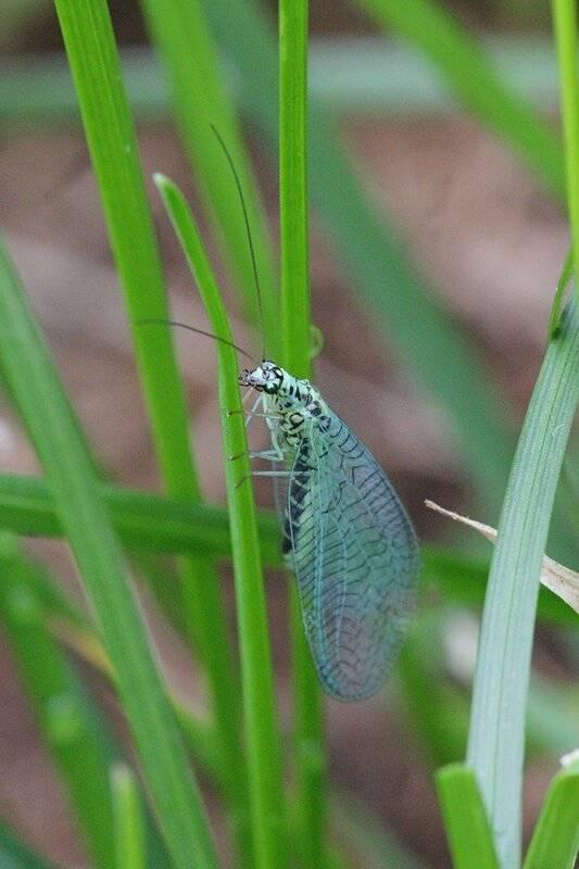 Зеленые насекомые