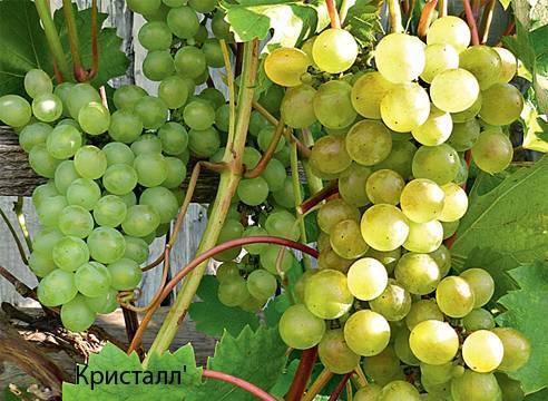 Все про виноград выращивание