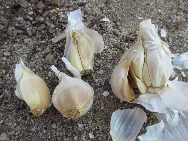 Можно ли сегодня сажать чеснок под зиму