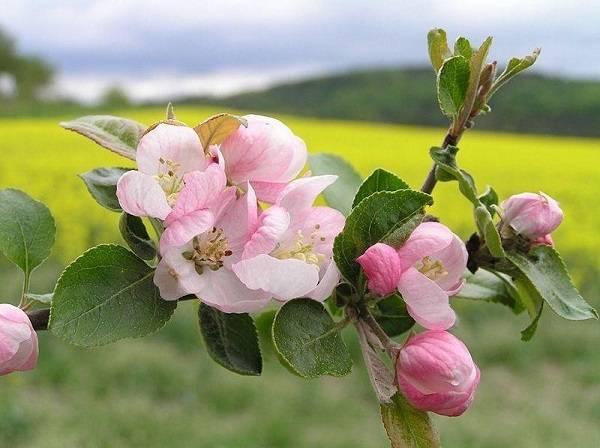 Яблоня данила