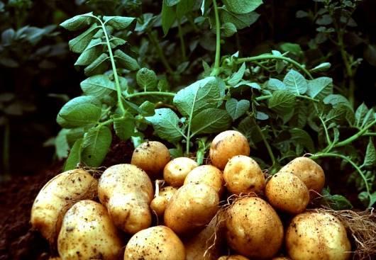 Как растет картофель картинки