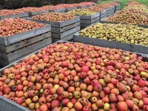 Где хранить яблоки