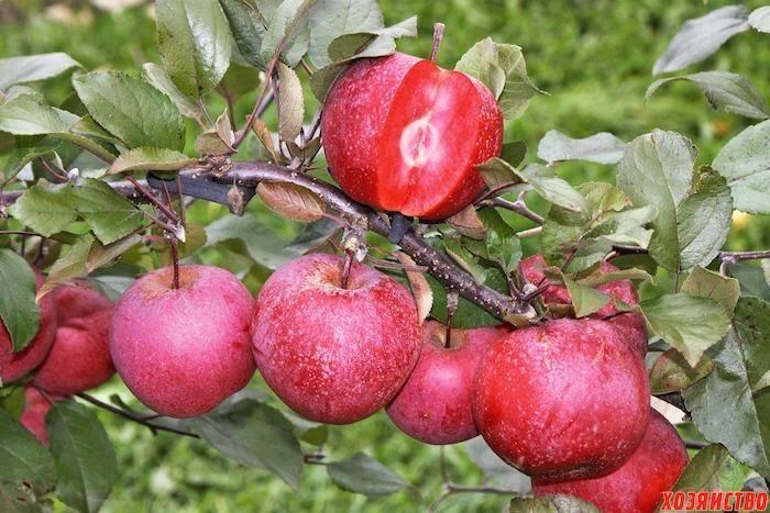 Сорт яблок с розовой мякотью
