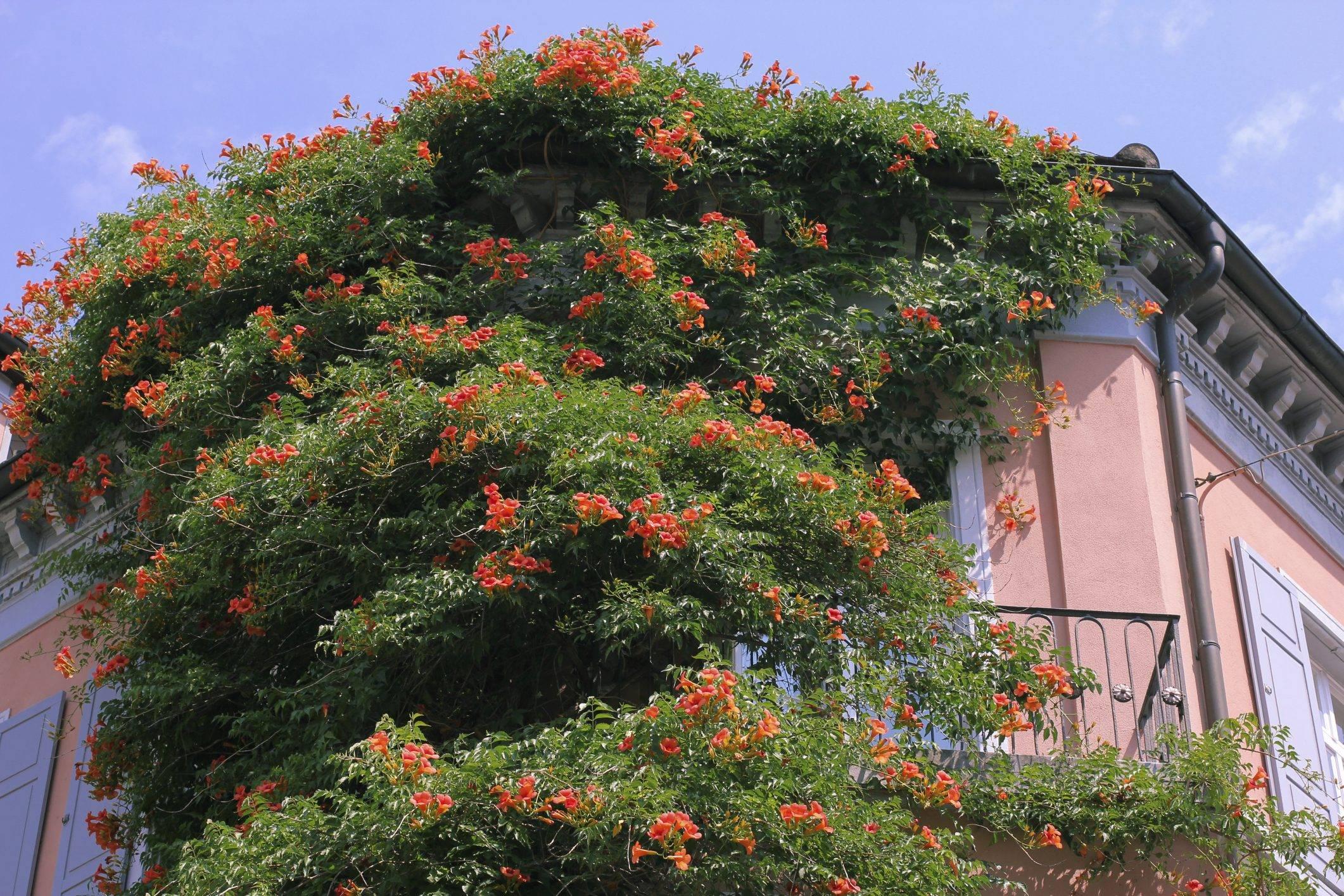 Лиана с оранжевыми колокольчиками