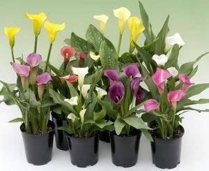 Выращивание каллы из семян в домашних условиях