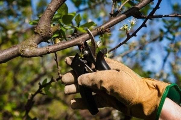 Как подрезать абрикос