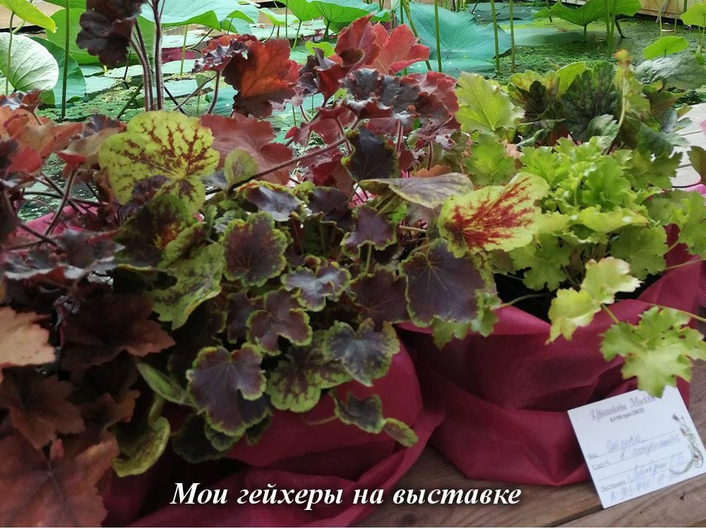 Гихеры цветы фото