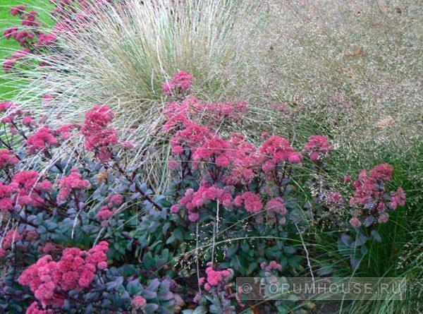 Злаковые травы для сада