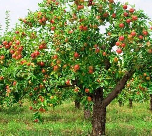 Пепенка сорт яблок фото