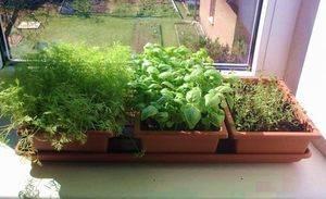 Выращивание зелени дома зимой